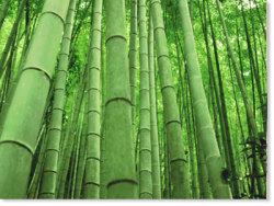 bamboo_main