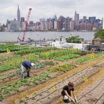 Rooftop Farming on the Warehouses of North Brooklyn
